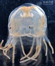 最危险最恐怖海洋动物竟是箱水母,每年有百人命丧其之手