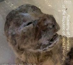 西伯利亚现1.2万岁的史前洞狮幼崽 它是睡着了么?