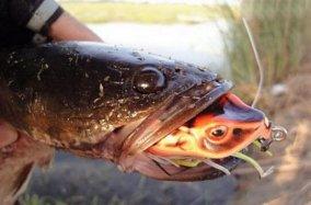 蛇头鱼可离水存活数天,盘点世界十大魔鬼鱼