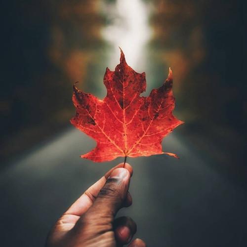 <strong>秋季的加拿大枫叶美景图片</strong>