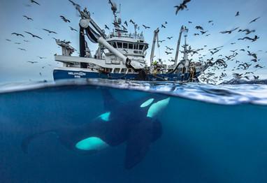 Audun Rikardsen  北极,鲸