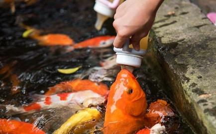 吃奶鱼 一种会吃奶的鱼(能活到100岁)